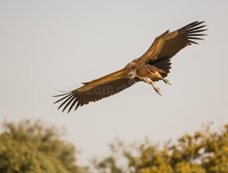 Flying Griffon vulture royalty free stock photo