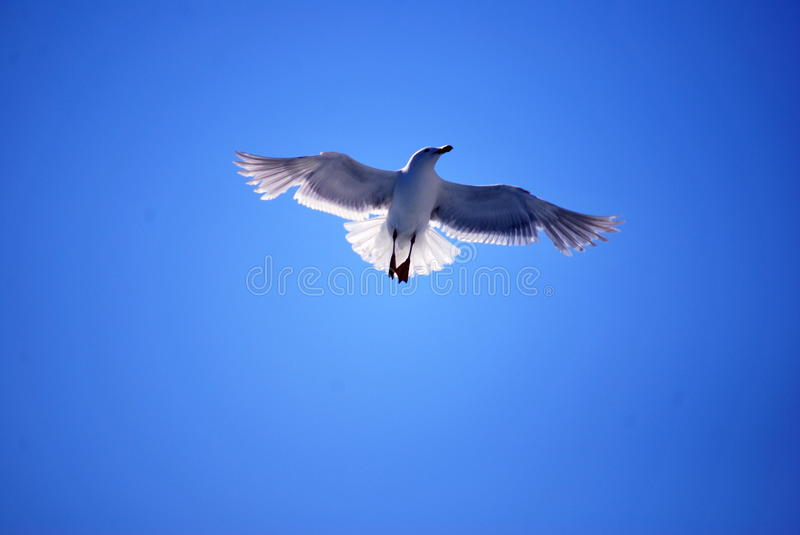 A Flying Gull royalty free stock image
