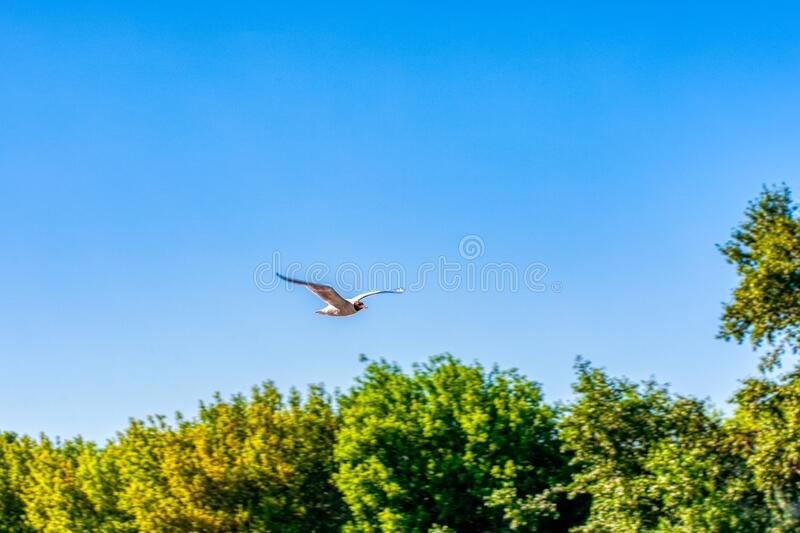 Flying gull, Seagull in flight against the blue sky and green tree crowns, view from below. Gulls or gulls are seabirds of the family Laridae in the suborder royalty free stock photos