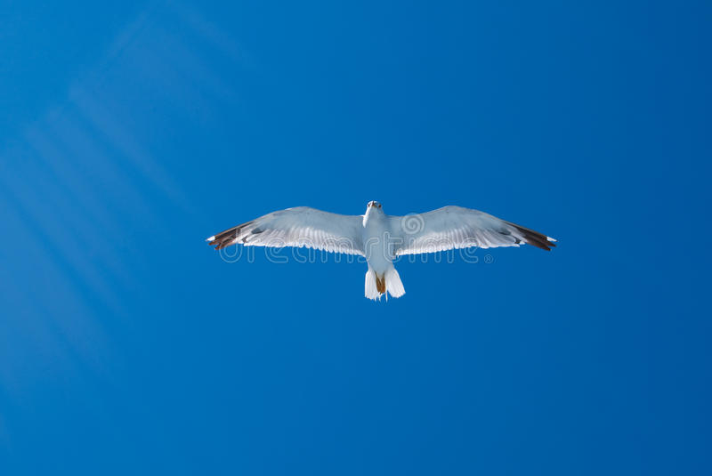 Download Flying Gull And Sun Rays Royalty Free Stock Image - Image: 37648576
