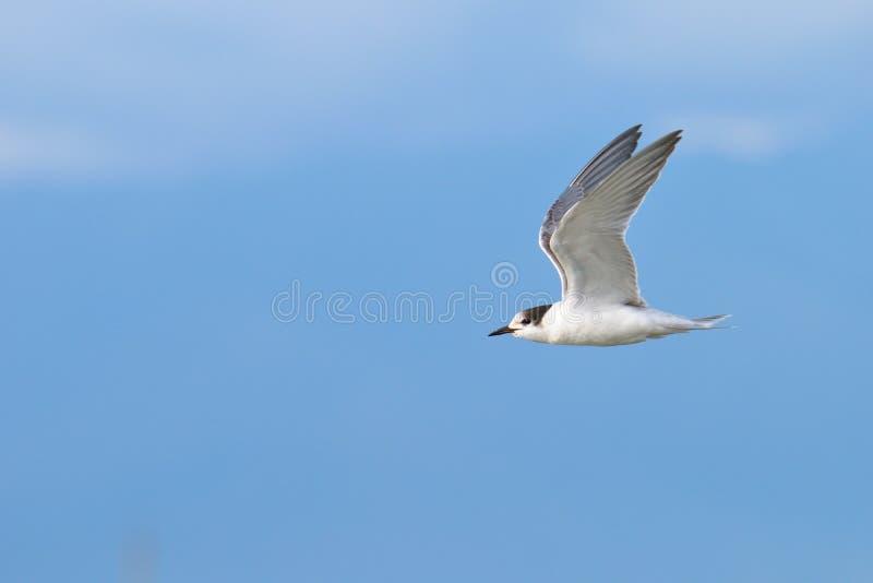 Flying gull near lake Issyk-Kul royalty free stock photography