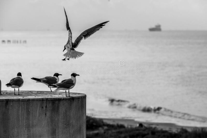 Flying gull with three gulls sitting on a column with the sea and boats on the background royalty free stock photo