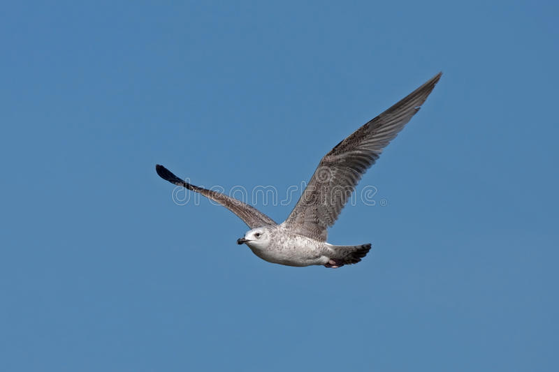 Download Flying Gull Royalty Free Stock Photography - Image: 31124257