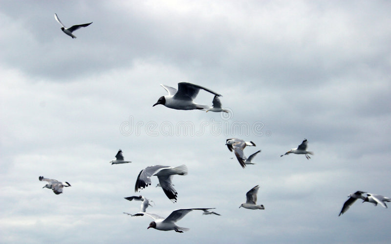 Download Flying Gulls Stock Photography - Image: 192292