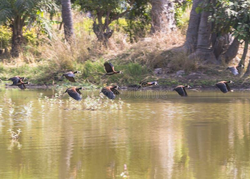 Flying Harlequin Ducks royalty free stock photos