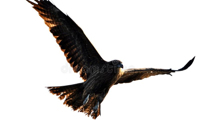 Download Flying hawk stock image. Image of flight, wild, fukuoka - 15879911