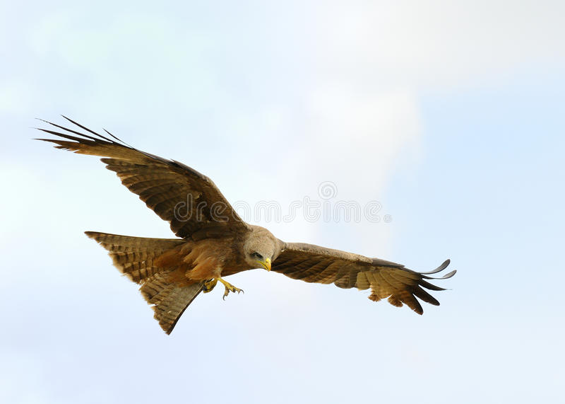 Flying Hawk stock image