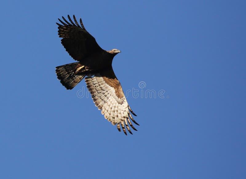 Flying hawk stock photo
