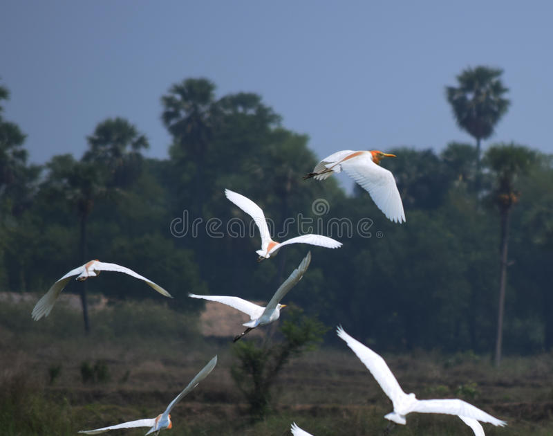 flying heron birds over the rice field royalty free stock photo