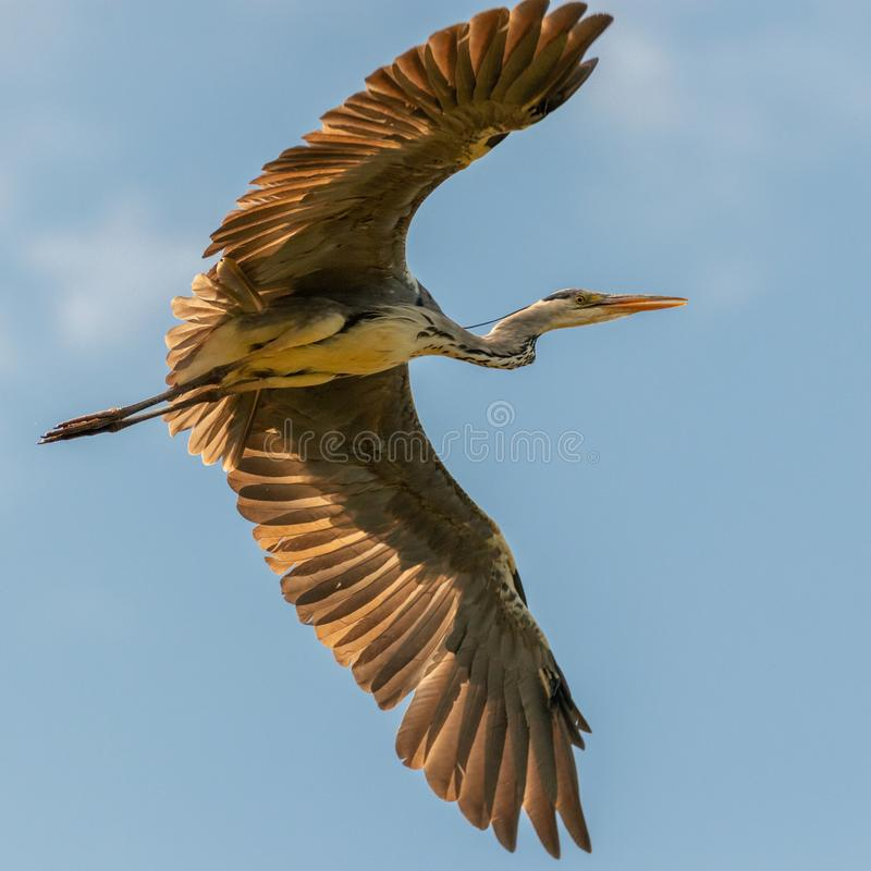 Flying Heron with great wing-pose royalty free stock photo