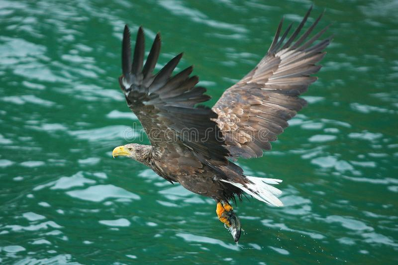 Flying home with the pray. Sea eagle after landing nose diving and catching a fish, haddock or pollock or salmon, fliyng back to the nest at Lofoten Islands stock photo