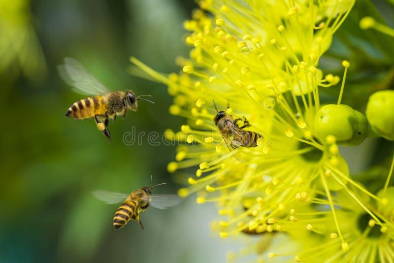 Flying honeybee collecting pollen at yellow flower. stock photos