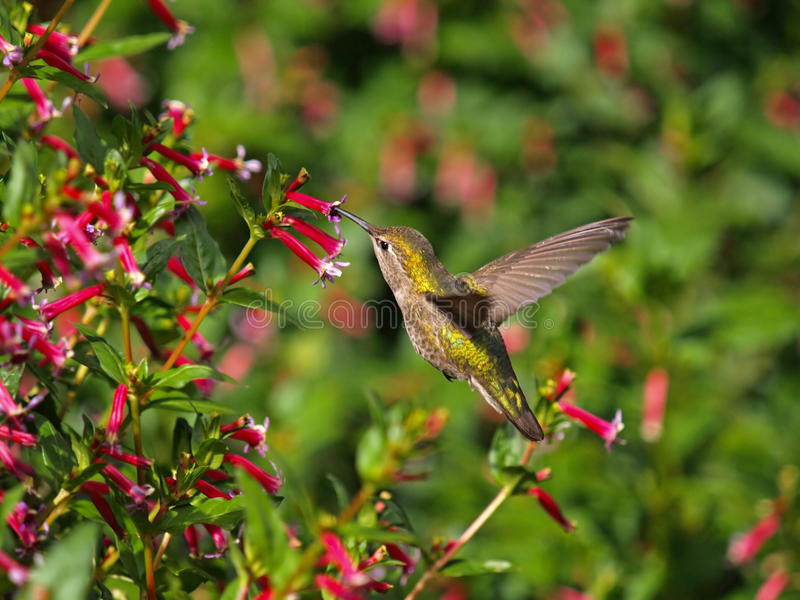 Flying; Hummingbird stock images