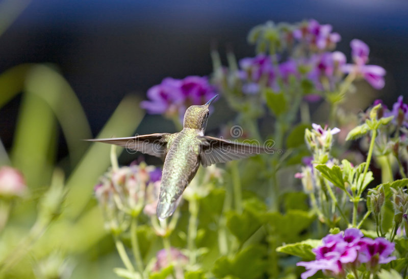 Flying Hummingbird stock image