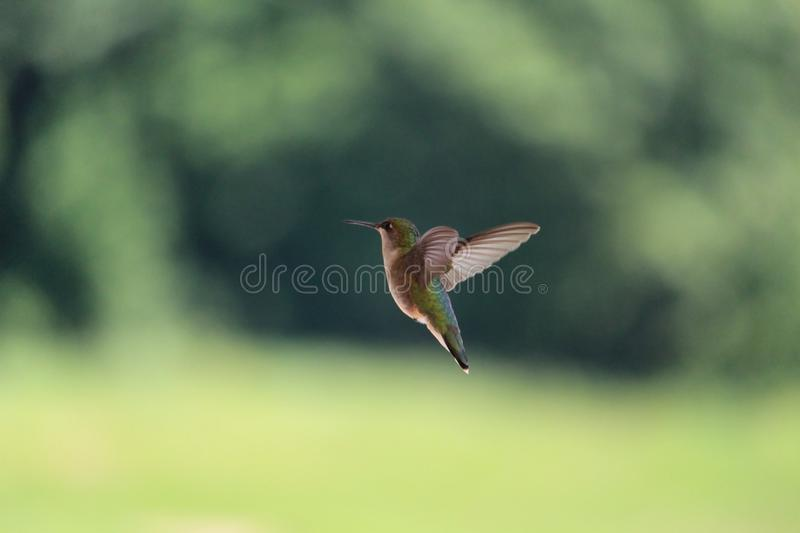 Hummingbird flying stock photo