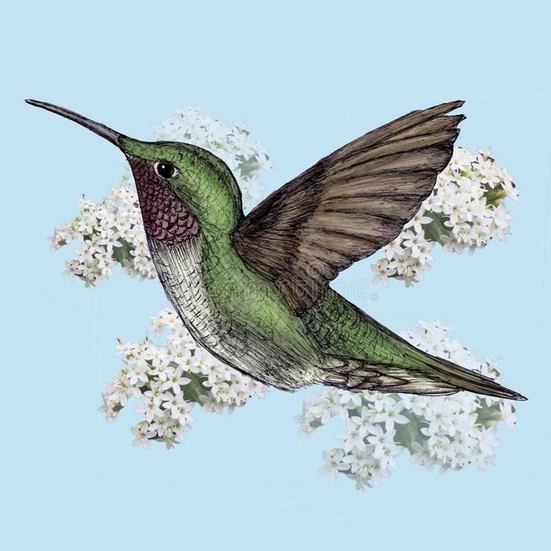 Flying hummingbird illustration drawn in pen with digital color royalty free illustration