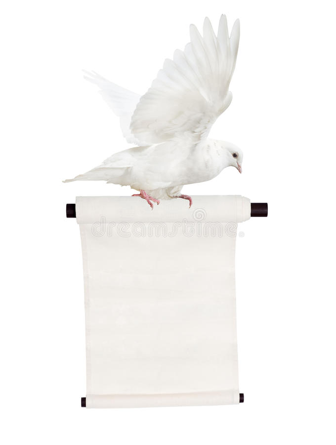 Flying isolated white dove with scroll royalty free stock photography