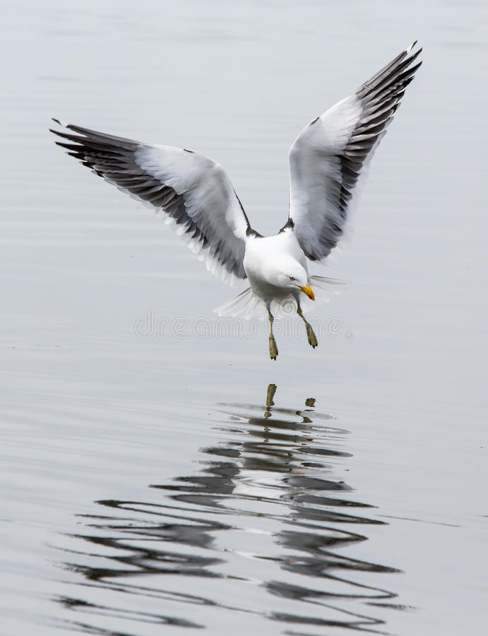 Free Flying Kelp Gull Landing In Argentina, South America Stock Photos - 38171453