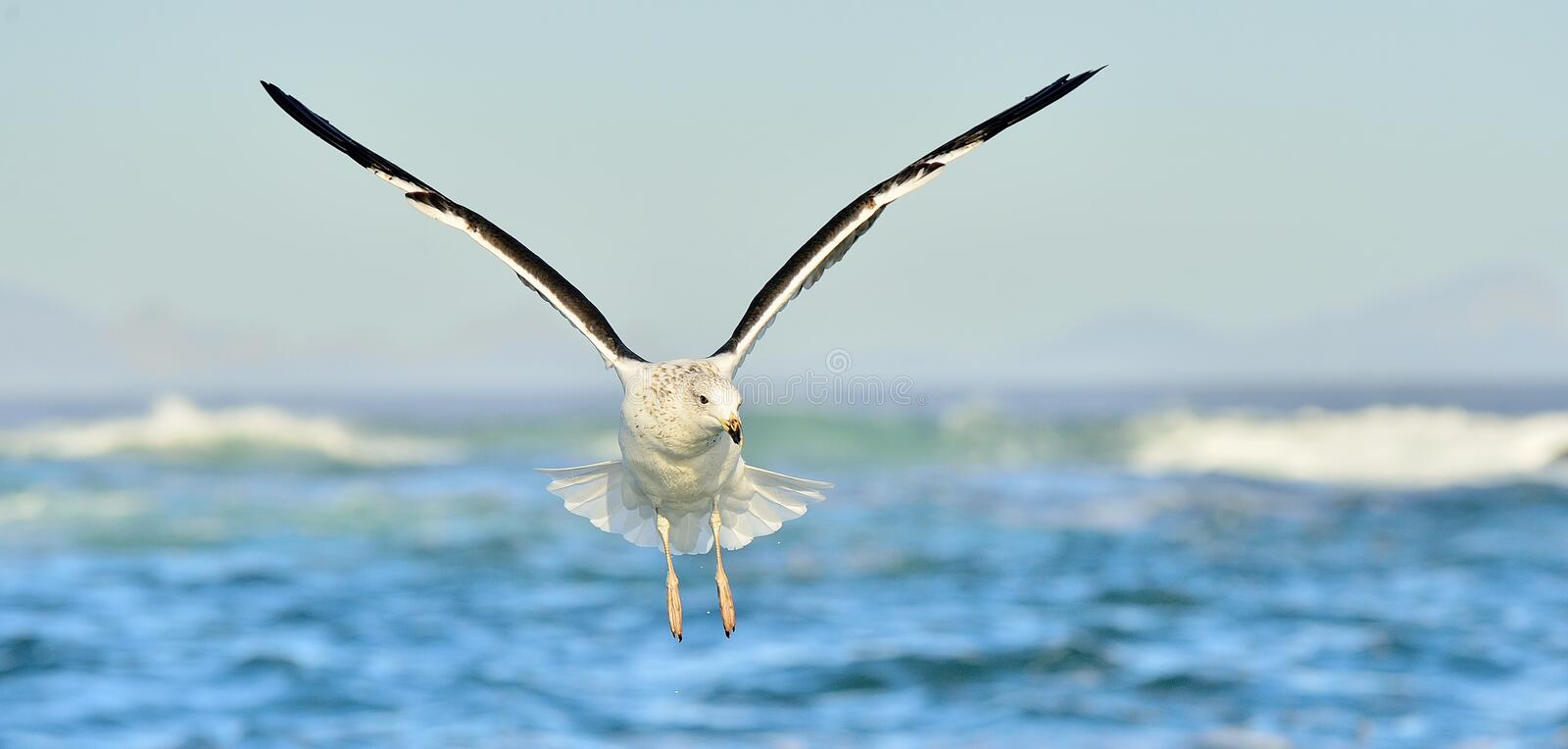 Flying Kelp gull (Larus dominicanus), also known as the Dominica. Adult Kelp gull in flight. Larus dominicanus also known as the Dominican gull and Black Backed stock photography