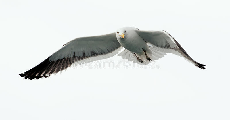 Flying kelp gull (Larus dominicanus). Also known as the Dominican gul and Black Backed Kelp Gull. False Bay, South Africa. isolated ON WHITE royalty free stock photography