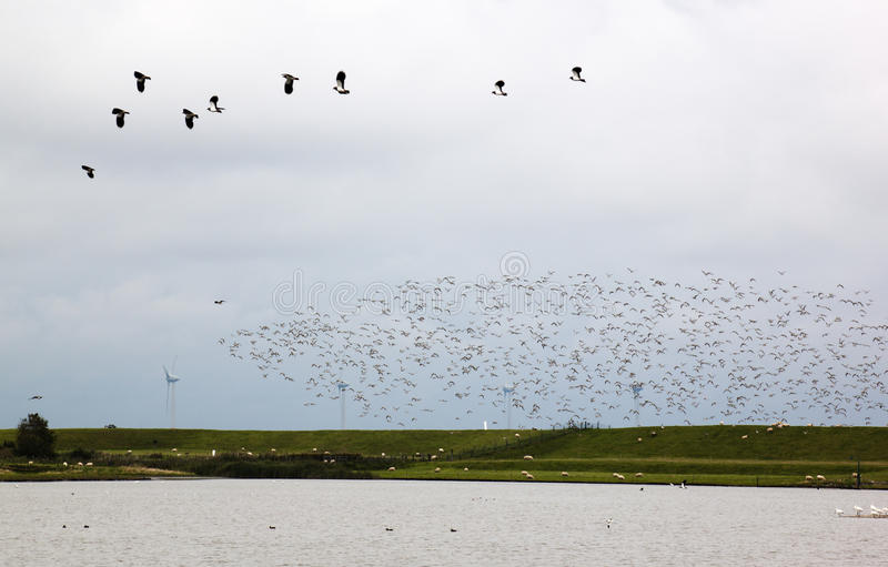 Flying lapwings in the dutch Polder Breebaart. Lapwings fly startled in Polder Breebaart, located in the NE of The Netherlands, on the edge of the Eems-Dollard royalty free stock images