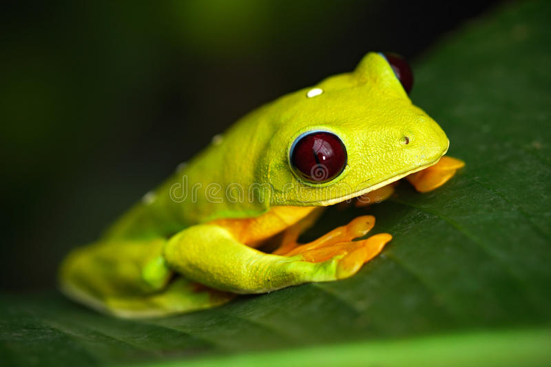 Flying Leaf Frog, Agalychnis spurrelli, green frog sitting on the leaves, tree frog in the nature habitat, Corcovado, Costa Rica. Central America stock photos