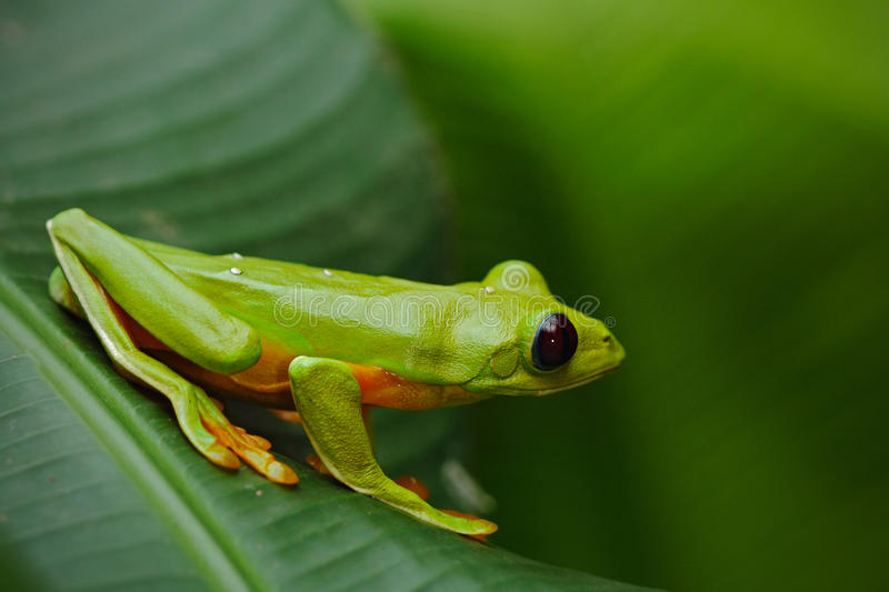 Flying Leaf Frog, Agalychnis spurrelli, green frog sitting on the leaves, tree frog in the nature habitat, Corcovado, Costa Rica. Central America stock photo