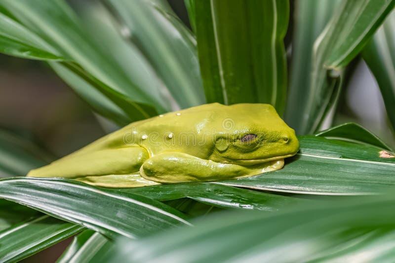 Flying Leaf Frog. Agalychnis spurrelli, green frog sleeping on a leaf in Costa Rica stock photos