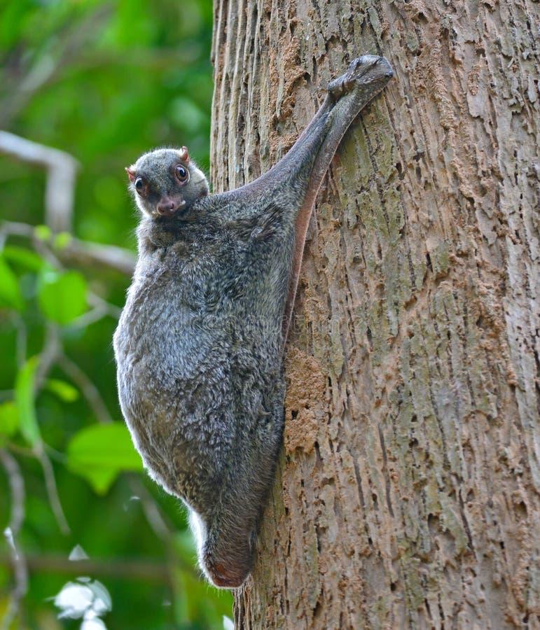 Free Flying Lemur Royalty Free Stock Image - 50463236