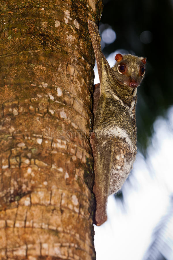 Free Flying Lemur Hanging On In A Tree In A Tree Stock Images - 20033264