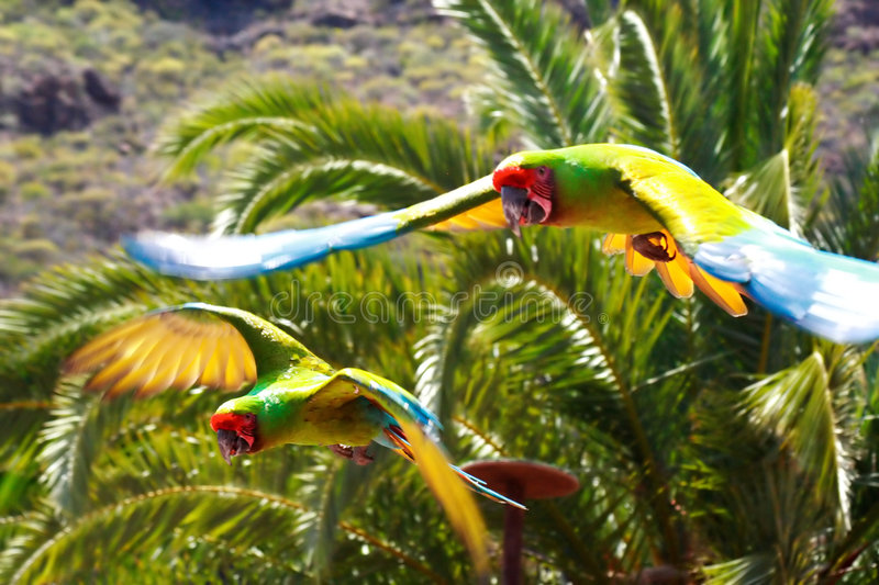 Flying Macaws. Two green and yellow macaws flying against a tropical bacground of palms and mountains royalty free stock photos