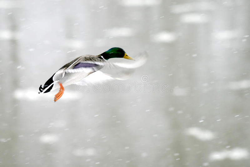 Flying mallard stock images