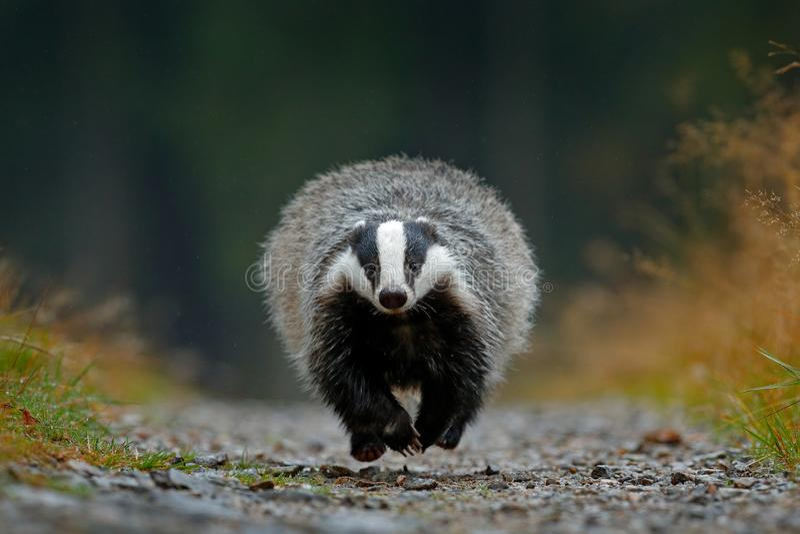 Flying mammal. Badger in forest, animal nature habitat, Germany, Europe. Wildlife scene. Wild Badger, Meles meles, wood road. Euro. Flying mammal. Badger in royalty free stock photography