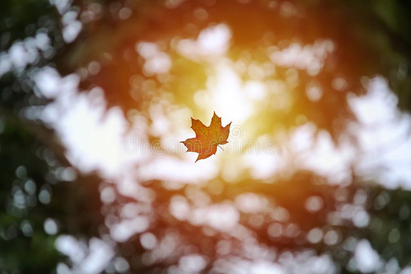 Flying maple leaf in sunny blurry background with bokehs. Maple leaf flying with sun in the background. Focused perfectly on the leaf so that the background is royalty free stock photography