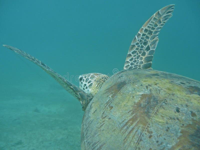 'Flying' marine turtle royalty free stock photo