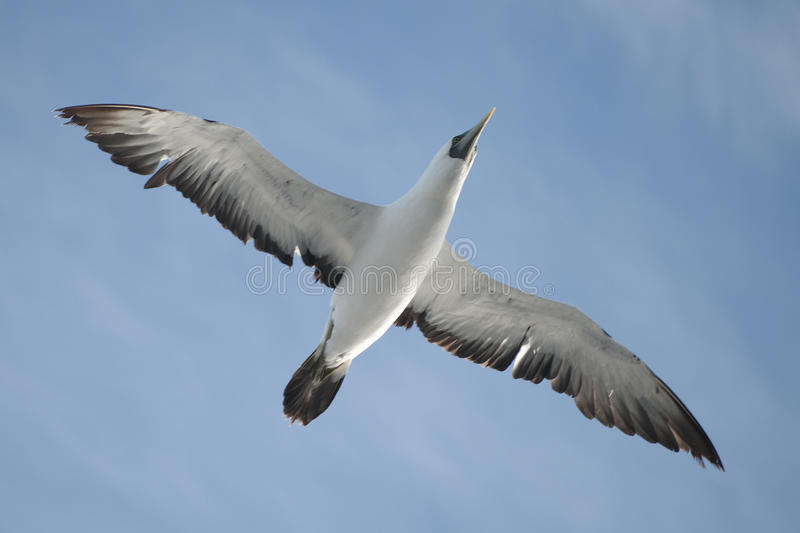 Download Flying masked booby stock image. Image of cloud, alone - 12248089