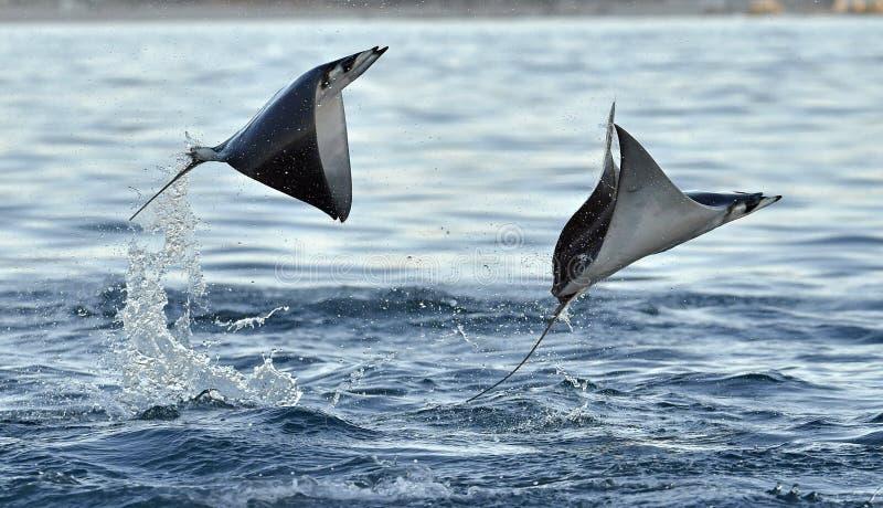 Flying Mobula Ray stock photos