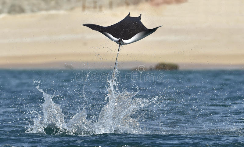 Flying Mobula Ray. Mobula ray jumping out of the water. Mobula munkiana, known as the manta de monk, Munk`s devil ray, pygmy devil ray, smoothtail mobula, is a stock images