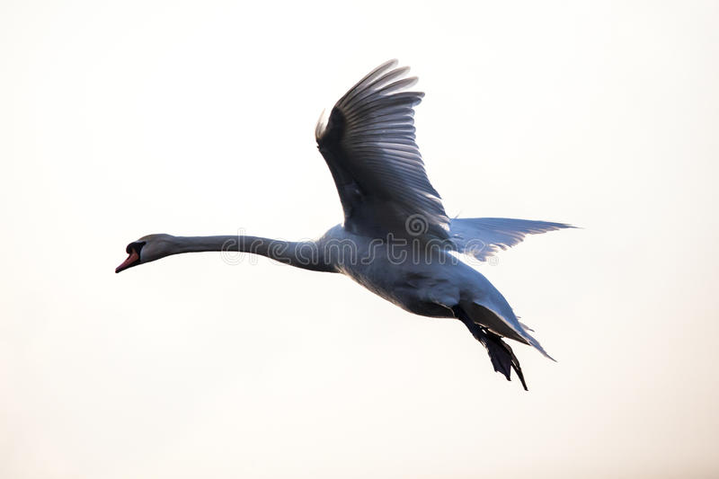 Flying mute swan in winter time royalty free stock image