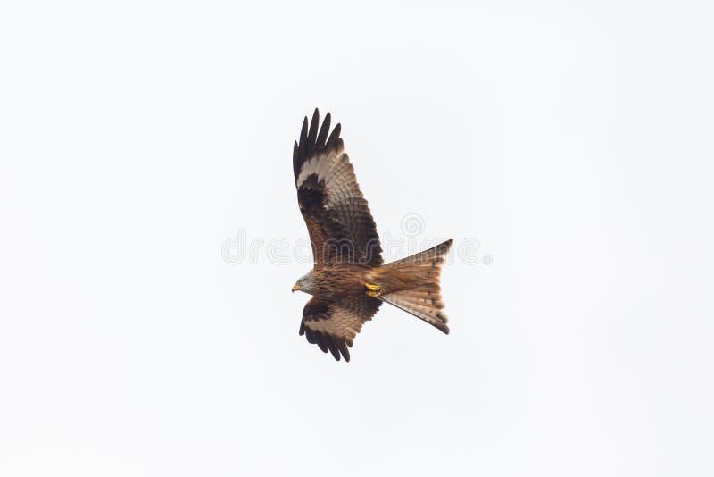 Flying red kite bird milvus milvus, spread wings, white backgr. Flying natural red kite bird milvus milvus, spread wings, white background stock photos