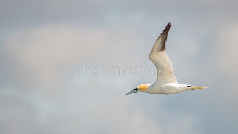 Flying Northern Gannet in Atlantic ocean following a boat. Summer stock images