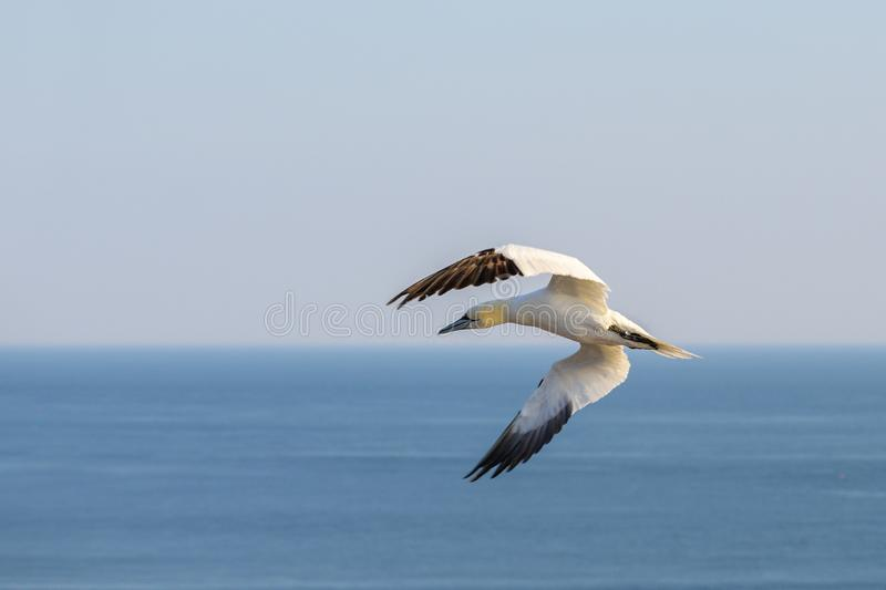 Flying northern gannet Morus bassanus over the water, near the island Heligoland in the north sea of Germany, blue sky, copy royalty free stock photos