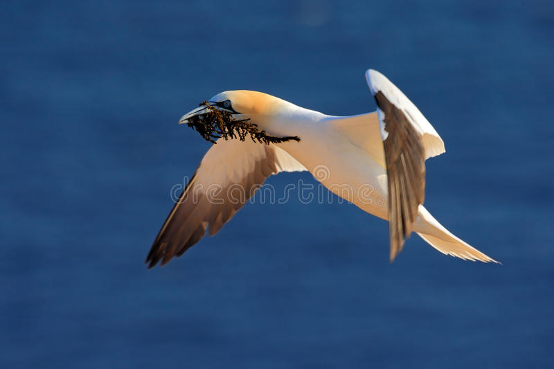 Flying Northern gannet with nesting material in the bill, with dark blue sea water in the background, Helgoland island, Germany stock image