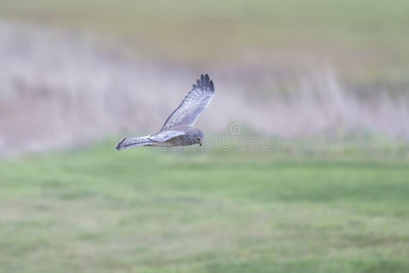 Flying Northern Harrier lizenzfreies stockfoto