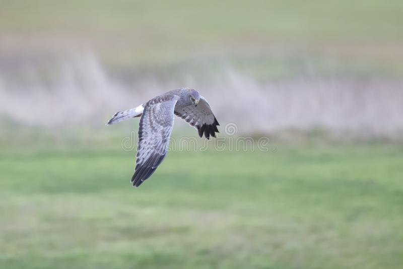 Flying Northern Harrier stockfoto