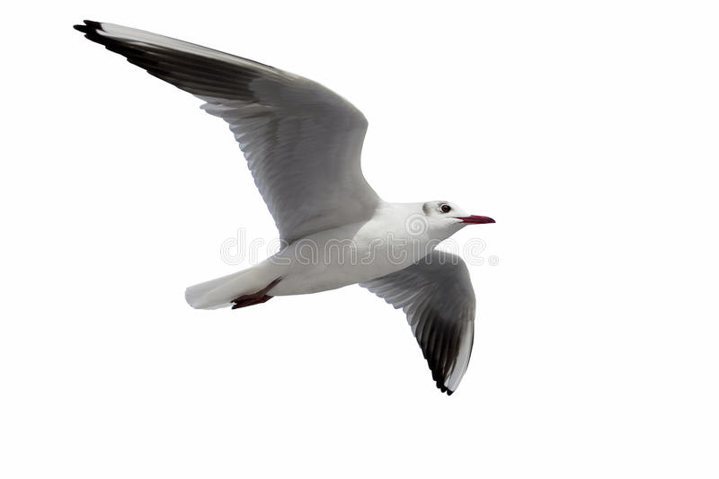 Flying One seagull isolated on the white backgroun stock photo