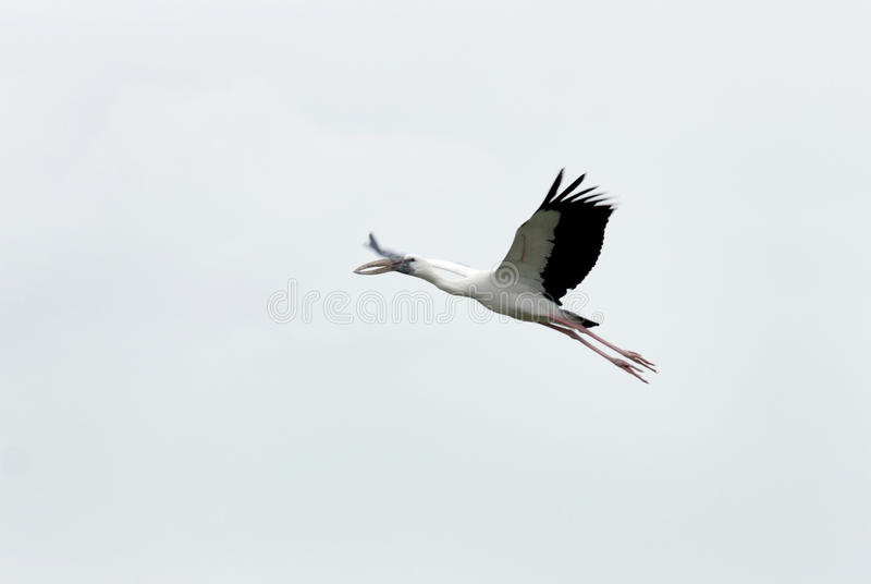 A flying Openbill stork. A beautiful bird Sanctuary at Uppalapadu, a village near Guntur City in the state of Andhra Pradesh, India stock photography