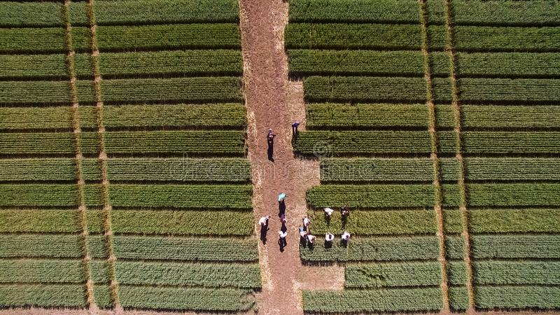 Flying over the field with different varieties of wheat. Scienti royalty free stock image