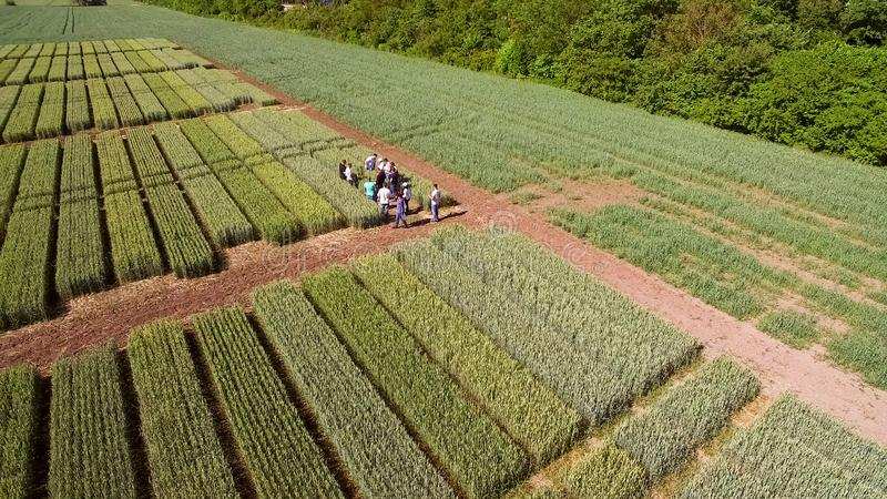 Flying over the field with different varieties of wheat. Scienti royalty free stock images