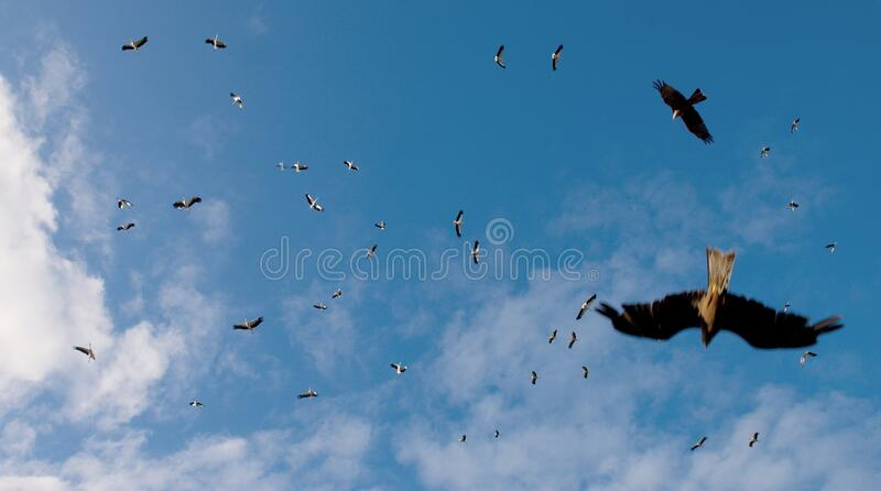 The eagles are chasing a flock of storks royalty free stock photos